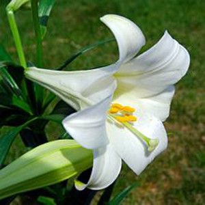 Easter Lily.